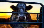 Film Screening - Cowspiracy