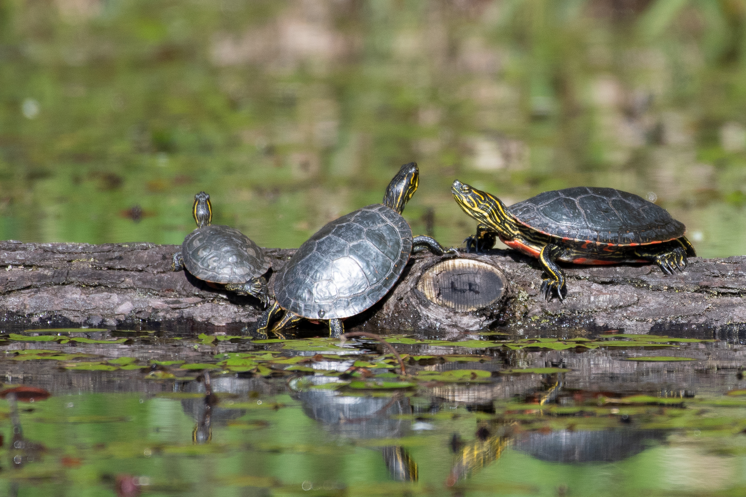 South Coast Western Painted Turtles @ Zoom